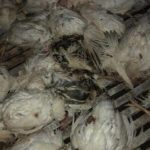Sign Petition Asking Sheriff's Department to Investigate Koch Foods Over the Death of Thousands of Chickens