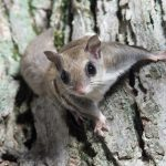 Florida Wildlife Authorities Bust Trafficking Ring Smuggling Thousands of Protected Flying Squirrels into South Korea
